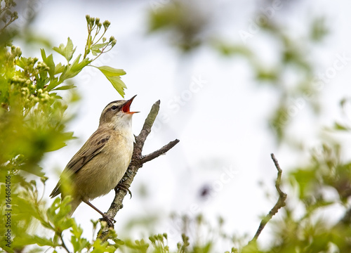Fotografie, Obraz  Sedge Warbler (Acrocephalus schoenobaenus), singing from a bush, Sussex, England, UK