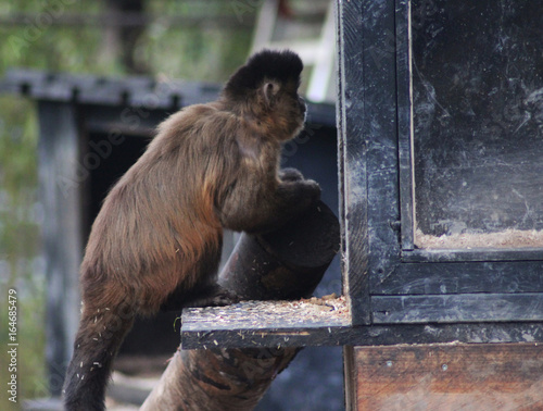 Fényképezés  The tufted capuchin (Sapajus apella)