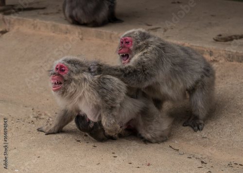 Japanese Macaque monkeys fight on a dusty road in Kyoto, Japan with