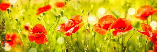 Poppies field at sunlight - 164696214
