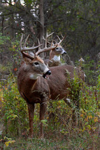 Two White-tailed Deer Bucks In...