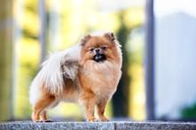 Adorable Pomeranian Spitz Dog ...