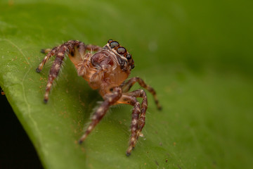 Jumping Spider of Borneo