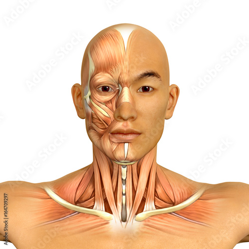 3d Asian Male Model Face And Neck Muscles Anatomy Buy This Stock
