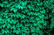 Green ivy. Textures/ Background.