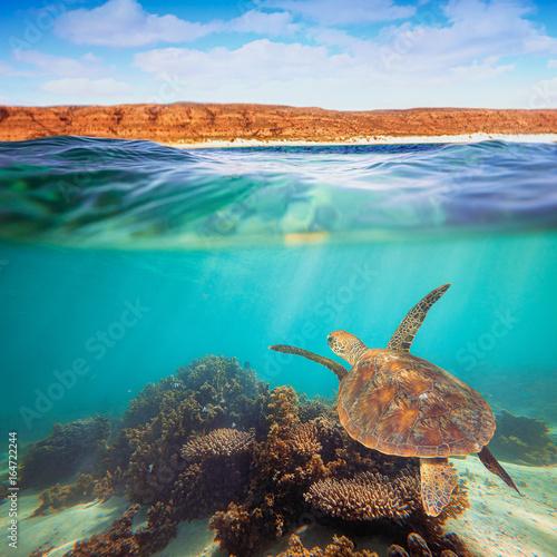 Turtle swimming underwater on the Ningaloo Reef, Western Australia