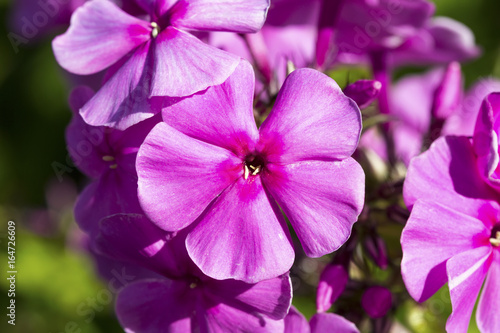 Blooming Phlox paniculata Canvas Print