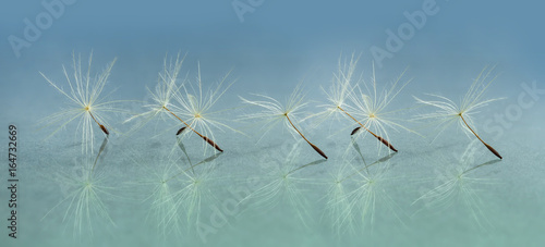 Panoramic image of a dandelion seed close-up