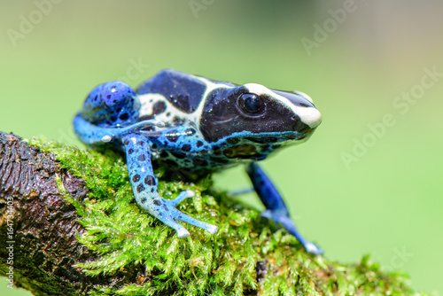 Blue frog in tropic nature Poster Mural XXL