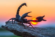 Scorpion At Sunset (Scorpionid...