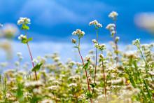 Blooming Buckwheat Field Under...