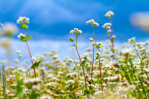 Cadres-photo bureau Sauvage Blooming buckwheat field under the summer sky with clouds.