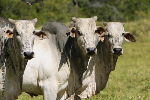Fotografie, Obraz  Fazenda de gado