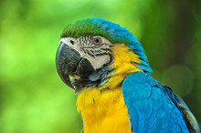 A Cute Blue And Yellow Macaws.