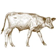 Engraving  Illustration Of Calf