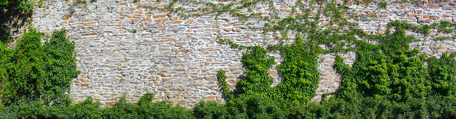 old wall overgrown with ivy
