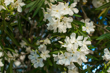 White Oleander Flowers On A Br...