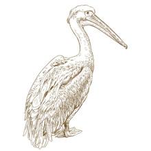 Engraving Illustration Of Peli...