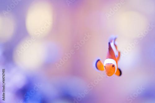 Fotografie, Tablou  Finding Nemo, Amphiprion Ocellaris Clownfish In Marine Aquarium