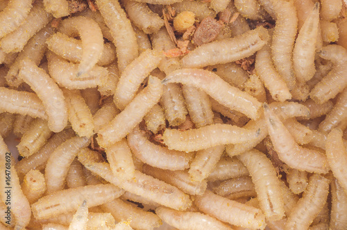 Larva of a meat fly in sawdust, close-up