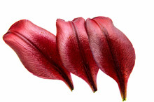 Red Lily Petal Isolated