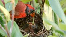 Male Cardinal Feeding Worn To Babies In Nest