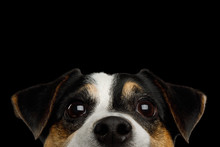 Closeup Portrait Of Peeking Jack Russell Terrier Dog Poking His Nose Isolated On Black Background