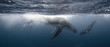 canvas print picture - Whale Kiss - Mother & Calf - Tonga