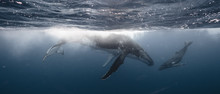 Whale Kiss - Mother & Calf - T...