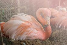 Mother Flamingo Sitting On Her Egg Peacefully At Zoo, Filtered Tones