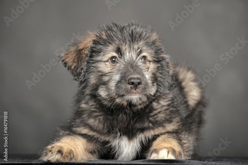 Caucasian shepherd puppy in front of white background