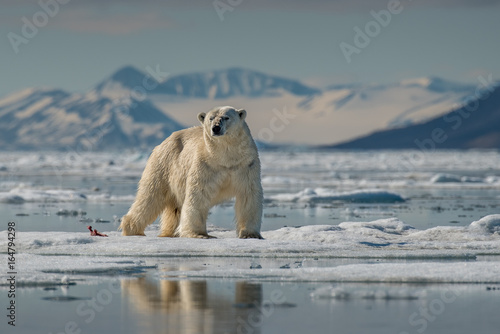 Photo Stands Polar bear King of the North