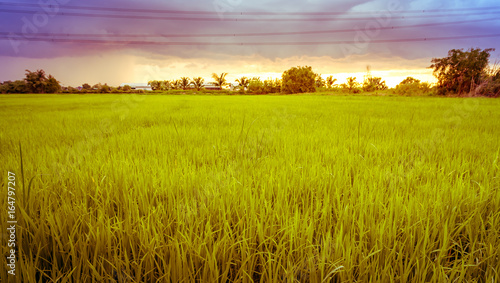 Photo sur Aluminium Sauvage Landscape of rice field and sky during sunset in summer.
