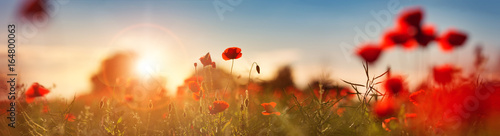 Poster de jardin Poppy Beautiful poppy flowers on the field at sunset
