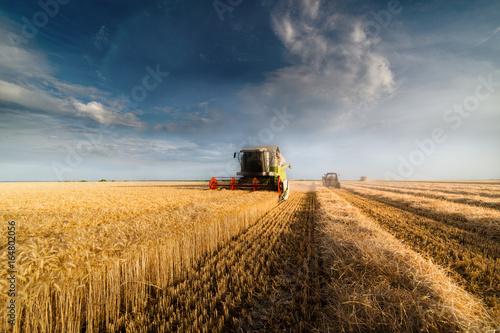 Obraz Harvesting of wheat fields in summer - fototapety do salonu