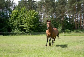 Araber Pferd auf Weide