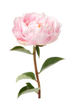 Pink Rosy Peony With A Stem An...