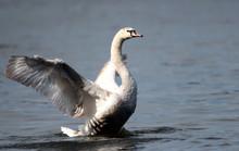 Mute Swan (Cygnus Olor) Spread...