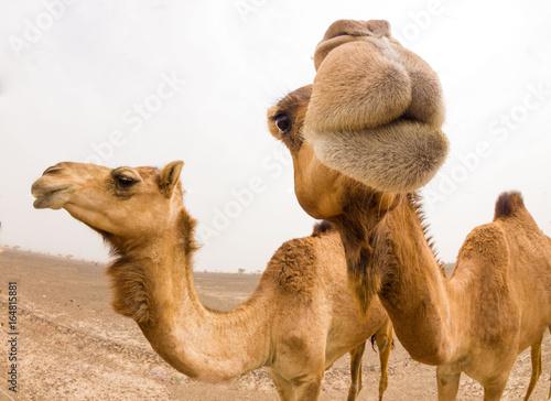 Poster Chameau Smiling camel