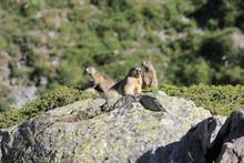 Famille De Marmottes Sur Rocher