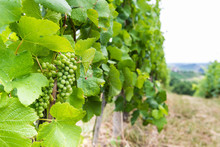 Ripes Of Grapewine On A Vine