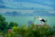 White Stork, Ciconia Ciconia, ...