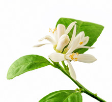 Lemon Flower With Leaves On Wh...