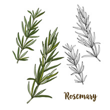 Full Color Realistic Sketch Illustration Of Rosemary
