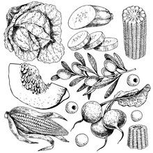 Vector Hand Drawn Set Of Farm Vegetables. Isolated Cabbage, Pumpkin, Corn, Olives, Zucchini, Radish. Engraved Art.