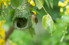 Asian Golden-Weaver With Nesting