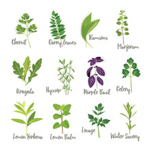 Set Of Herbs Isolated, Vector Illustration