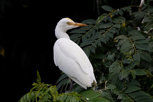 Beautiful Egret On A Mangrove Tree