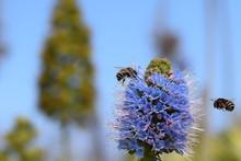 Banded Bee With Proboscis Exte...