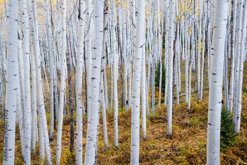 Papiers peints Bosquet de bouleaux Autumn Aspen Grove